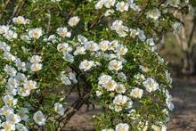 Cherokee Rose Flower, Rosa Laevigata