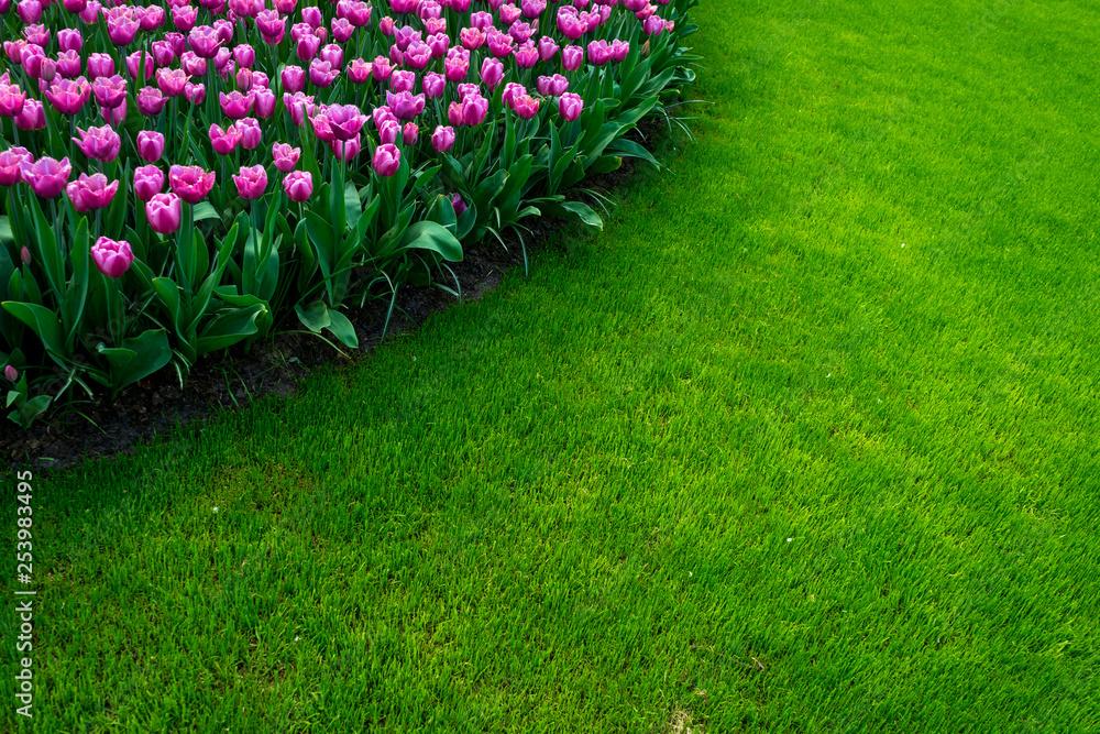 Fototapeta Netherlands,Lisse, a close up of a flower garden