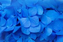 Blue Hydrangea Background. Hor...