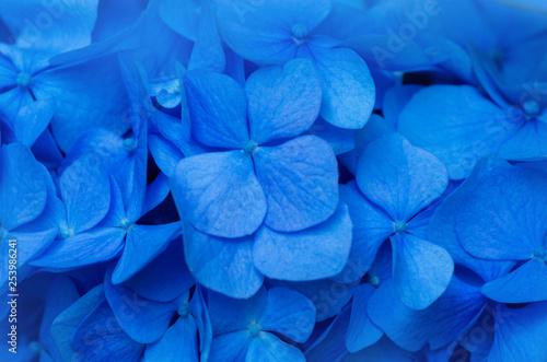 Photo sur Toile Hortensia Blue Hydrangea background. Hortensia flowers surface.