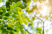 Closeup Green Leaves With Sunlight In Forrest. Fresh Natural Background. Travel And Freedom. Can Use For Environment Backdrop.