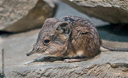 Obraz na plátně  Elephant shrew. Latin name - Macrocelides proboscideus