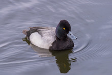 Lesser Scaup Male Duck Swimmin...