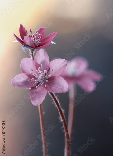 Przylaszczka - Wiosenne kwiaty - fototapety na wymiar