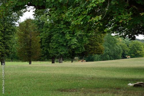 Fotografie, Obraz  daims parc