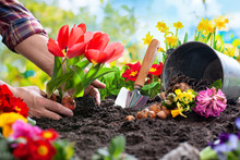 Planting Spring Flowers In The...
