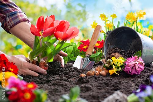 Obraz Planting spring flowers in the garden - fototapety do salonu