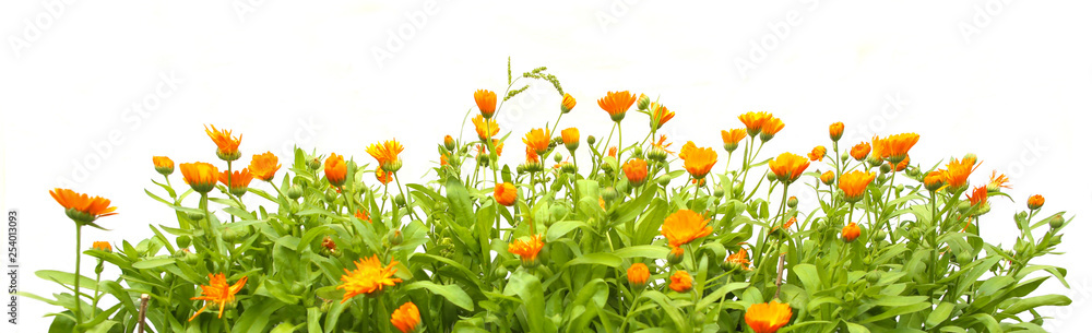 Fototapety, obrazy: Orange Calendula officinalis growing isolated on white background. Blooming herbal plant marigold garden flowers.