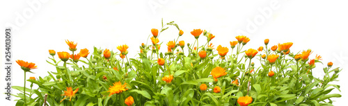 Obraz Orange Calendula officinalis growing isolated on white background. Blooming herbal plant marigold garden flowers. - fototapety do salonu