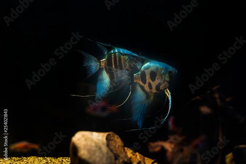 Fototapety, obrazy: Pterophyllum scalare cichlidae fish