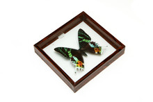 The Pinned Colorful Butterfly Inside The Wooden Frame With Glass Isolated On A White Background. A Hobby For Collectors.