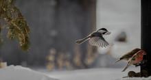 Black-capped Chickadee In-flig...