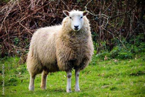 Fotobehang Schapen Devon sheep in a field
