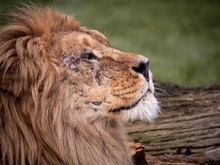 Close Up Image Of A Majestic, ...