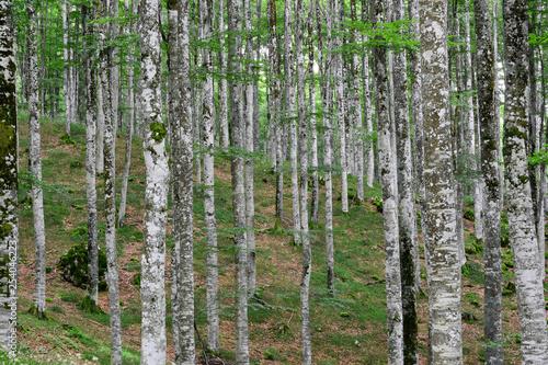 Garden Poster Birch Grove una splendida foresta a primavera