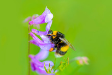 POLEN  Image Of Bee Or Honeybee On Yellow Flower Collects Nectar. Golden Honeybee On Flower Pollen With Space Blur Background For Text. Insect. Animal