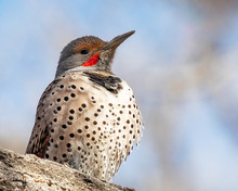 Norther Flicker On A Limb