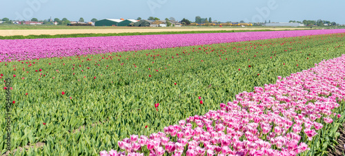 Wall Murals Magenta Netherlands,Lisse, a red flower in a field