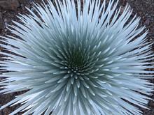 Silversword Plant At Haleakala...