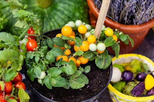 Fotografia cherry tomatoes in the pots