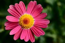 African Daisy Pink Flower