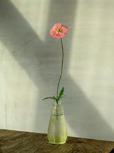 Poppy Flower In The Studio