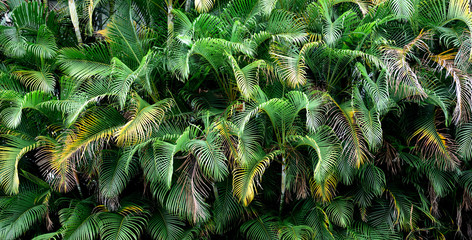 Fototapeta Do gastronomi Tropical palm frond leaves, Thick lush wall, Exotic textures, Colombia