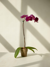 Still Life Of An Orchid Plant