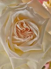 Macro Photograph Of A Rose