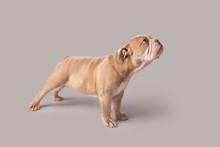 Bulldog Puppy On Isolated Back...