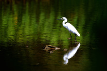 Snowy Egret (Egretta Thula) Standing In The Marsh And Look At Something