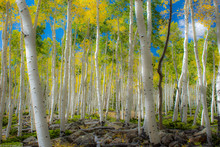 Earth's Largest Living Organism, Pando Aspen Grove, Near Fish Lake, Utah