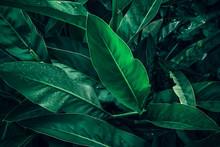 Large Foliage Of Tropical Leaf...