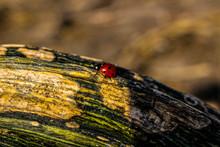 Ladybug On Pumpkin Stem