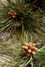New Pine Cone Cluster