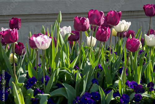 Photo  colorful purple and white tulips in the garden