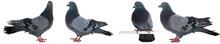 Dove Gray Bird Isolated On White Background