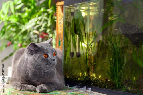 Fotografía  Cute british shorthair Cat looks at aquarium