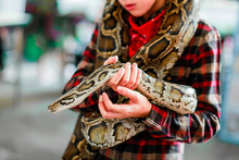 Close-up Of Boy's Hands  Volunteer Showing A Snake To A Child And Letting Her Touch The Snake Holding A Royal Ball Python