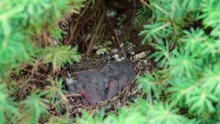 Parental House Finch Sparrow Birds Feeding Newborn Baby Chicks.