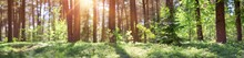 Pine And Fir Forest Panorama