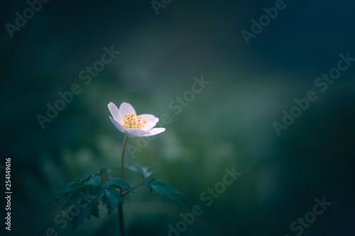 Cadres-photo bureau Fleuriste Anémone des bois solitaire