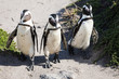 canvas print picture - African Penguins at Stony Point Nature Reserve in Bettys Bay, close to Hermanus in Cape Town South Africa