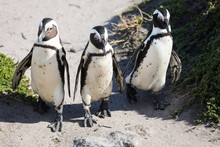 African Penguins At Stony Point Nature Reserve In Bettys Bay, Close To Hermanus In Cape Town South Africa