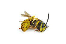 Dead Wasp Isolated On White Ba...