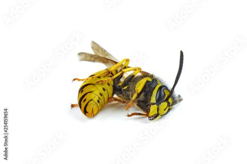 Valokuva Dead wasp isolated on white background