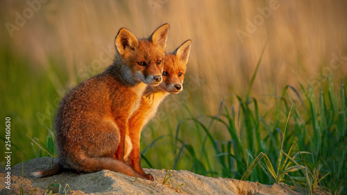Photo Red fox, vulpes vulpes, little cubs near den sitting close together