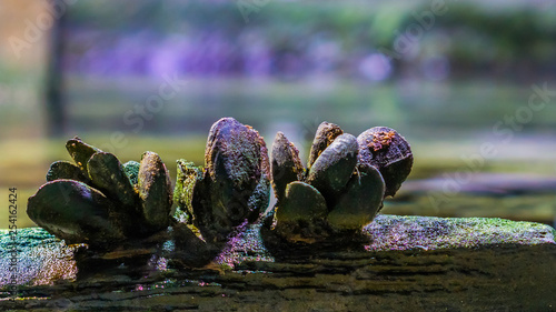 Valokuva  group of common mussels together in closeup on a wooden bar, nature at the ocean