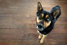 Shepherd Dog Heterochromia Portrait On Background Of Wood Deck With Copy Space.