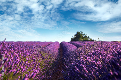 Photo  Blooming field of lavender flowers, blue sky with white clouds, France